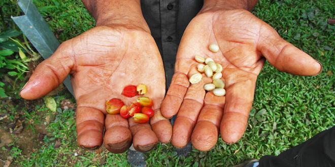 el cafe peruano conquista el mercado europeo